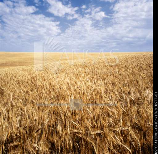 Wheat field in Kansas